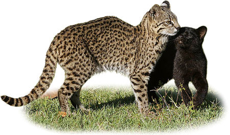 Leopardus geoffroyi, female with melanistic kitten
