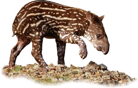 Tapirus terrestris, calf