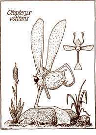 Otopteryx volitans